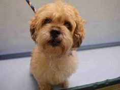 SUPER URGENT 08/06/16 Manhattan Center COCO – A1084407 FEMALE, TAN, SHIH TZU / POODLE MIN, 10 yrs OWNER SUR – EVALUATE, NO HOLD Reason COST Intake condition EXAM REQ Intake Date 08/06/2016, From NY 10453, DueOut Date 08/06/2016,