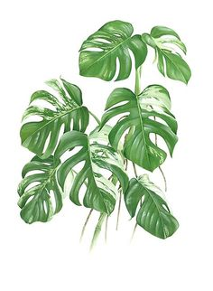 'Variegated Monstera Deliciosa – [Indoor Plant Love]' Poster by QLQS Art – Best Home Plants Monstera Deliciosa, Plant Tattoo, Plant Aesthetic, Plant Painting, Love Posters, Design Poster, Bedroom Plants, Plant Illustration, Cool Plants