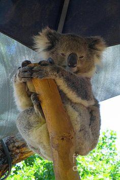 Sleepy Koala 4 Photograph by Naomi Burgess #koala #animals #photography