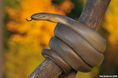 The Rubber boa (Charina bottae) is a snake in the family Boidae that is native to British Columbia, Canada and western US. One of the smaller boa species, adults can be anywhere from 38 to 84 centimetres (1.25 to 2.76 ft) long.