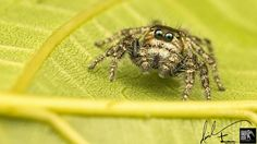 Semi-Coppered Male Heavy Jumper - (cf. Hyllus Semicupreus)  by EVP David
