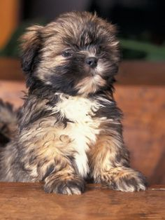 lhasa apso - cutest puppy breed in the world. This is my favorite dog. I so wish I could have one.