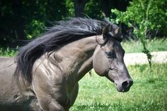 Berry Sweet Whizard--a Smoky Grulla Quarter Horse... best colour ever