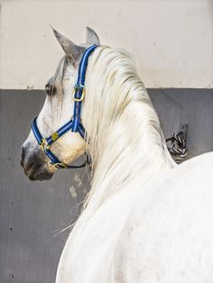 An unusual rear viewpoint of this beautiful white Andalucian Stallion. For me the Spanish horses are the most magical and that is why i love to photograph them !  Digital C-types are real photogr...