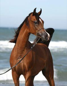 KANZ ALBIDAYER (Ajman Moniscione x DL Marielle)  2009 Bay Stallion