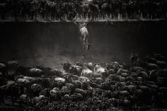 """Winner, Nature – """"The Great Migration"""" by Nicole Cambré"""