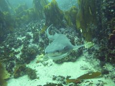 Spotted seven gill cow shark (Notorynchus cepedianus) 002