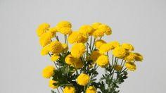 Yellow Button Spray Mums, #Chrysanthemums