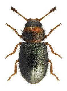 Opetiopalpus scutellaris CLERIDAE