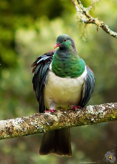 Ruffled Feathers of the Kererū or New Zealand Woodpigeon (Hemiphaga novaeseelandiae) Tui Bird, Pigeon Breeds, Bird Feathers, Ruffled Feathers, Wood Pigeon, Norfolk, Visit New Zealand, Pigeon Pose, Forest Friends