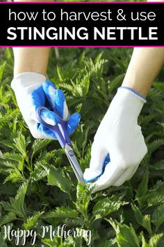 Many people avoid nettle because of the pain associated with the sting. We'll show you how to safely harvest and use nettle in your home. Organic Gardening, Gardening Tips, Herbs For Health, Health Tips, Green Living Tips, Wild Edibles, Growing Herbs, Herbal Medicine, Natural Medicine