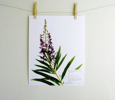 This listing is for a print of my original Fireweed (Chamerion angustifolium) herbarium specimen and pressed botanical artwork in the Evening
