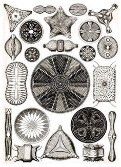 Ernst Haeckel ~ Art Forms in Nature / Sacred Geometry ~ Diatoms such as in Diatomaceous Earth Art Et Nature, Nature Prints, Art Prints, Nature Study, Nature Decor, Illustration Botanique, Botanical Illustration, Botanical Drawings, Ernst Haeckel Art