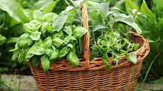 Organic Vegetable Seeds, Organic Vegetables, Vegetable Garden, Spices And Herbs, Fresh Herbs, Raised Herb Garden, Herbs List, Seeds Online, Herb Seeds
