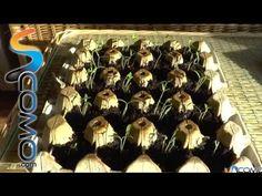 Cómo germinar semillas de tomates en pocos días - YouTube