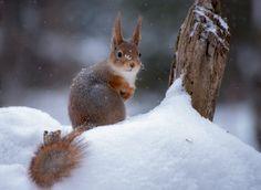 Winter squirrel by Андрей Киселёв on 500px