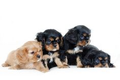 sweet cavalier puppies