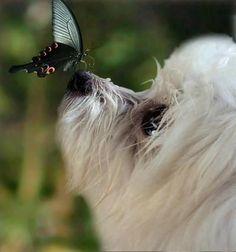 OMG ♥.....Butterfly kisses♥ #maltese