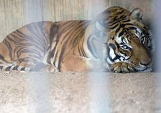 In this Aug. 24, 2013 photo, Hatch, a male tiger that used to work in a circus, rests in his cage at the city zoo in Montevideo, Uruguay. Uruguay's Montevideo Zoo giving away its big cats. Ha...