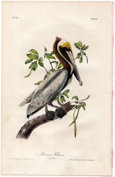 John James Audubon, Birds of America, First Edition, Pelican, Brown Pelican,  Birds, Illustrations, Engravings, Lithographs, Fine Art, Art, Vintage, Collectibles, Ebay, Natural History, Collectibles, Vintage, Flowers, Plants, Landscape, Wildlife, Animals, Animali, Uccelli, Paesaggi, Stampe, Stampe Antiche, Litografie, Storia Naturale