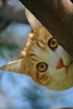 I can't get down!  Come and get me! #cats #eyes