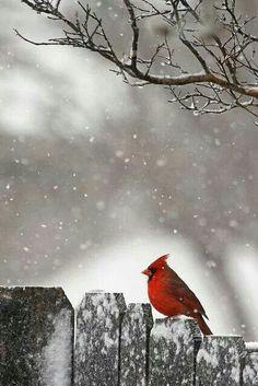 Winter, cardinal