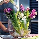 hyacinten brengen het lentegevoel in geur en kleur al naar binnen