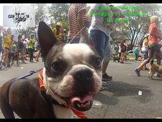Caminata Canina Feria de Flores 2014 Akita, Boston Terrier, Dogs, Animals, Boston Terriers, Animales, Animaux, Pet Dogs, Doggies