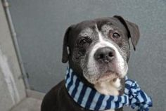 --NOW ON SUPER URGENT--PLEASE KEEP SHARING--ONYX is an adoptable Pit Bull Terrier Dog in Brooklyn, NY.  ...