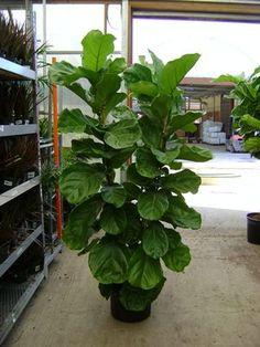 fiddle leaf fig - Google Search