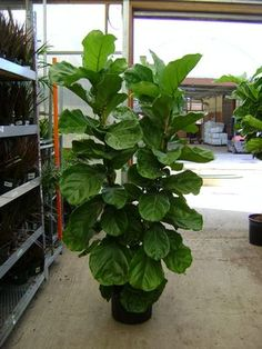 Fiddle Leaf Fig Ficus Lyrata.  This is the plant in the lobby on The Big Bang Theory.
