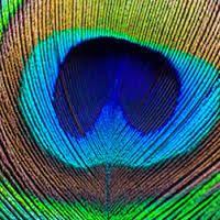 Resultado de imagem para pavão