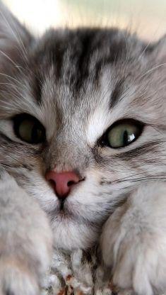 a cute gray cat iphone 5 wallpaper