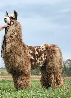 Our Llamas - Aspen Rayne Ranch Large Animals, Zoo Animals, Animals And Pets, Cute Animals, Smart Animals, All Gods Creatures, Cute Creatures, Beautiful Creatures, Animals Beautiful