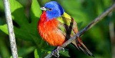 Louisiana birds | painted bunting at grand isle louisiana david a cangolatti