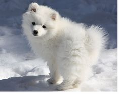 Toys Proposals And American Eskimo Dog On Pinterest