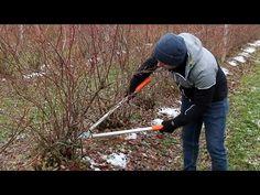 Cięcie borówki wysokiej - jak prawidłowo formować krzewy? - YouTube
