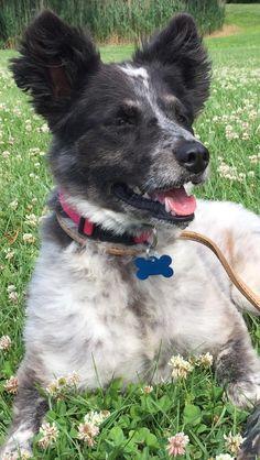 Border-Aussie dog for Adoption in Landenberg, PA. ADN-596139 on PuppyFinder.com Gender: Female. Age: Adult