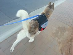 Logan always seems to walk much nicer, he seems so much happier and interacts with us so much more when he is walking with his backpack on. It really seems like the backpack gives him a purpose for the walk.
