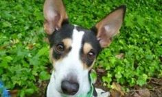Richard is a wonderful boy who enjoys nice walks, is curious about toys and loves treats! He is a 9-year-old Rat Terrier mix with a gorgeous tricolor coat. Richard is a sweet boy who was ADOPTED! from the Seattle Humane Society, July 2014