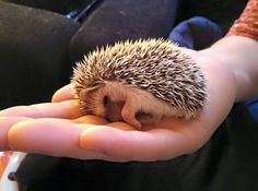 """Daniel Harris - This picture is my """"fleeting moment"""" because it's the first time we held the baby African Pygmy Hedgehog we adopted and she immediately felt comfortable enough to sleep on our hands."""