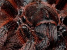 "Chilean Red Tarantula  ""Spiders"" on Facebook"