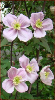 Clematis montana Mayleen : Brushwood Nursery, Vines and Climbers For Your Garden