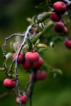 Crab apples are small, yellow-red, sour fruits of crab apple trees which grow wild in woodlands and hedgerows of the UK. The fruits ripen in autumn. Sour Fruit, Fruit And Veg, Fruits And Veggies, Fresh Fruit, Fresh Apples, Vegetables, Photo Fruit, Purple Home, Exotic Fruit