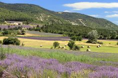 Bales of hay in the lavender