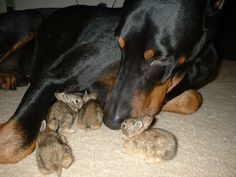 Doberman and baby bunnies.. and these are a few of my favorite things..