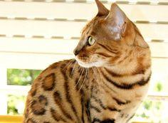 gatto del bengala2