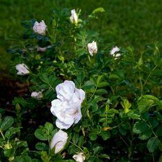 Blanc Double de Coubert (Cochet 1892)  « Tillbaka  blomformhalvfyllda doftstark grupprugosa, vresros BenämningBlanc Double de Coubert (Cochet 1892) blomfärgvit blomningstidremonterande blomstorlekstora höjd (i meter)2