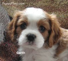 Cavalier King Charles Spaniel puppy - - Lord I love these dogs!