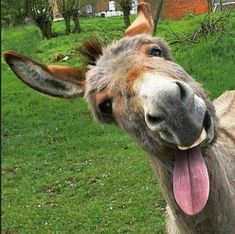 Looks like a peanut butter eating donkey to me! For the Love of Donkeys Looks like a peanut butter eating donkey to me! For the Love of Donkeys Cute Funny Animals, Funny Animal Pictures, Cute Baby Animals, Farm Animals, Animals And Pets, Animals Photos, Funny Donkey Pictures, Smiling Animals, Nature Animals
